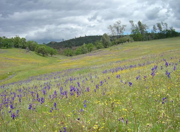 Drought and climate changes are reducing the diversity of California's grassland wildflowers. (Susan Harrison)