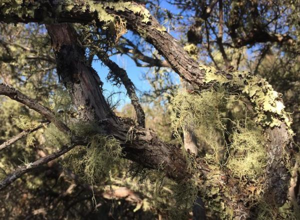 Old-growth lichens attach themselves to a tree branch at the Quail Ridge Reserve. A UC Davis study highlights the value of old-growth chaparral systems to local biodiversity. (Jesse Miller)